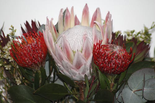 Free stock photo of flower, flowers, protea, protea flower