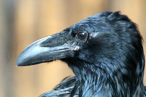 Ingyenes stockfotó állat, álló kép, baljós, corvus corax témában