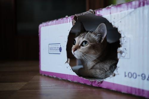 Бесплатное стоковое фото с catinboxes, tomicat.cz, бурмилла, кошка