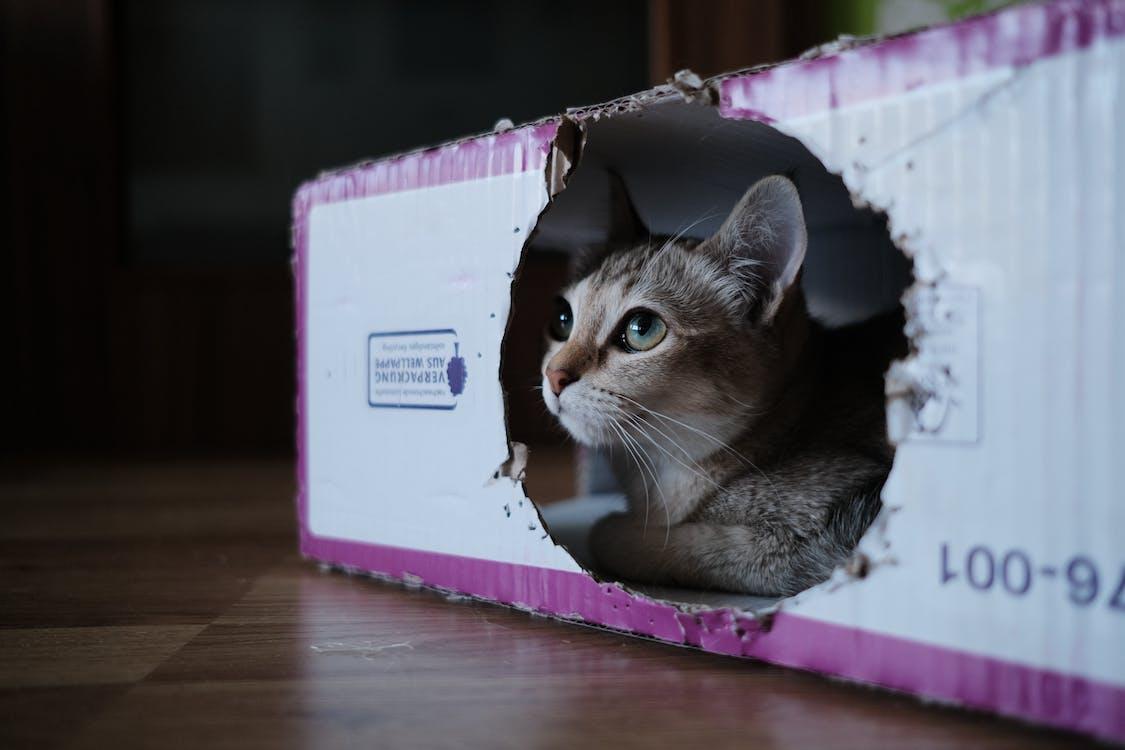 burmilla, catinboxes, mačka