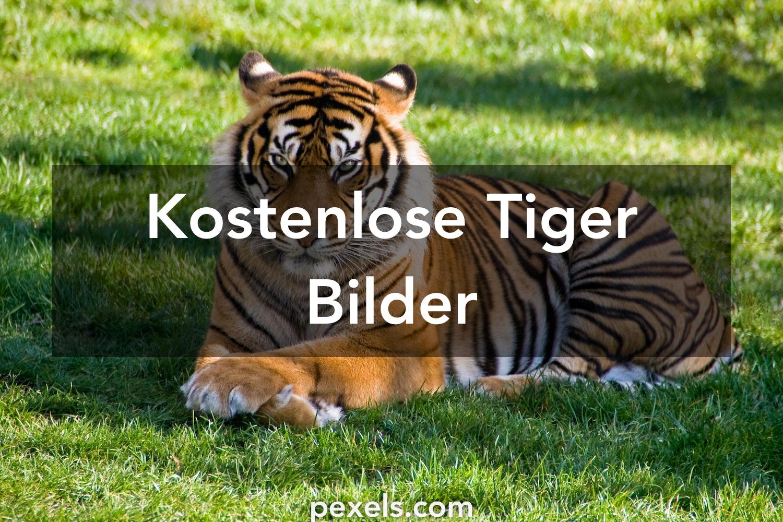 30 Tiger Fotos Pexels Kostenlose Stock Fotos