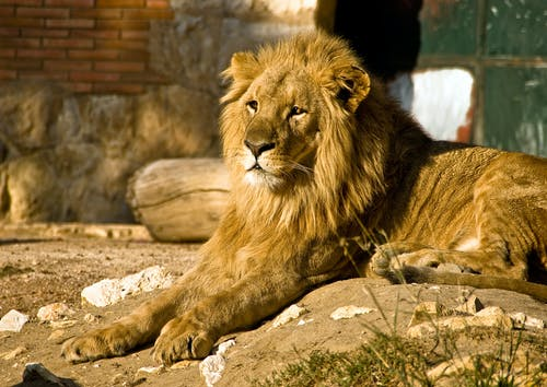 Brown Lion Close-up Photography