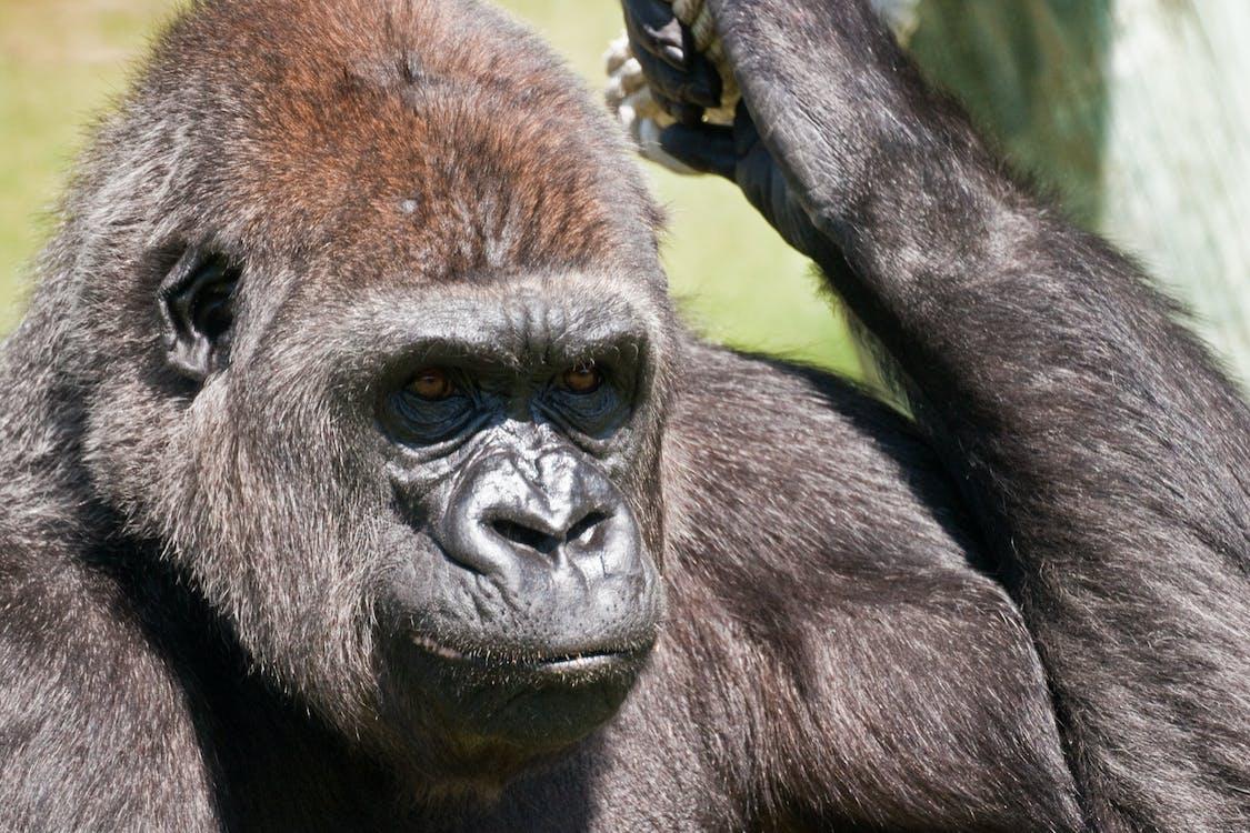 Close Up Photo of Black Gorilla