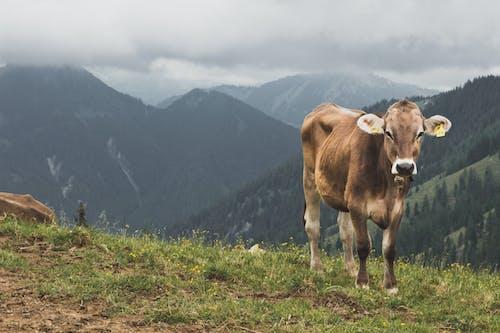 Ilmainen kuvapankkikuva tunnisteilla lehmä, lehmät, vuoret