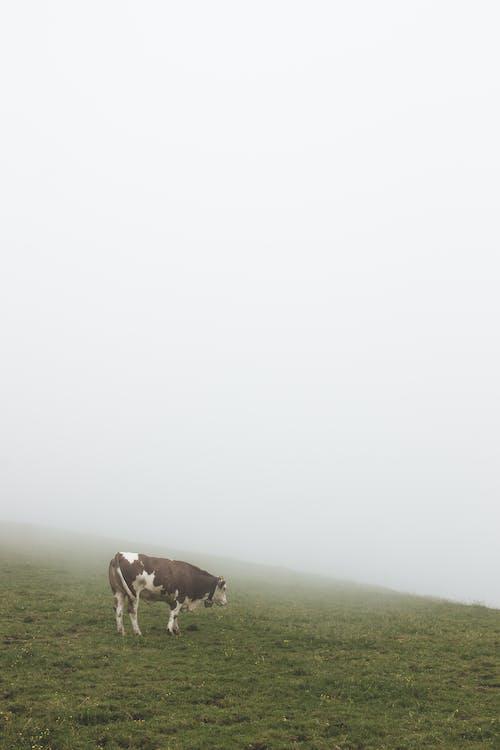 Ilmainen kuvapankkikuva tunnisteilla lehmä, lehmät, usva