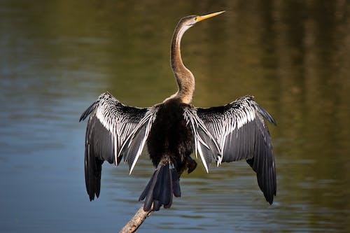 Ilmainen kuvapankkikuva tunnisteilla haikara, harmaa harmaahaikara, lintu