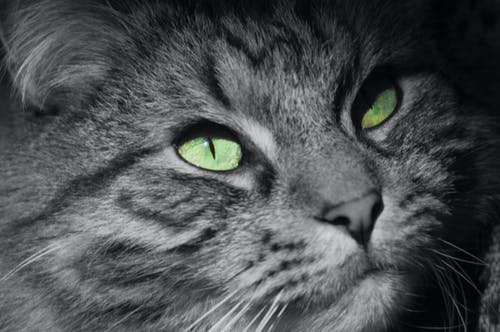 Ilmainen kuvapankkikuva tunnisteilla kissan silmä, kissat