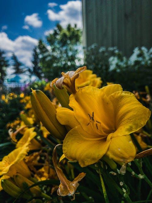 Free stock photo of flower, sky, summer, yellow