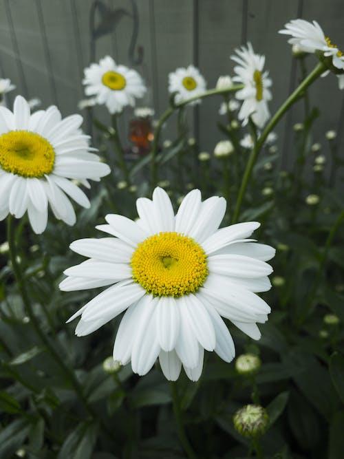 Free stock photo of flower, summer, white