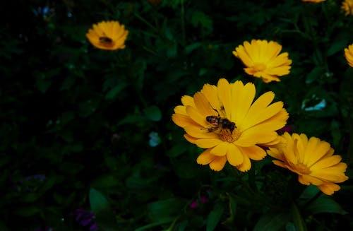 Fotobanka sbezplatnými fotkami na tému kvet, včela, záhrada