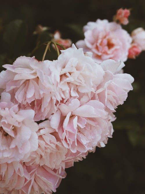 꽃, 분홍색 장미, 영어 장미, 자연의 무료 스톡 사진