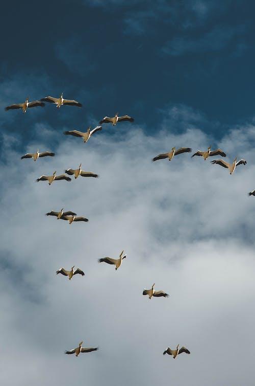 Immagine gratuita di uccelli, volando
