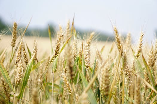 250 engaging wheat photos pexels free stock photos