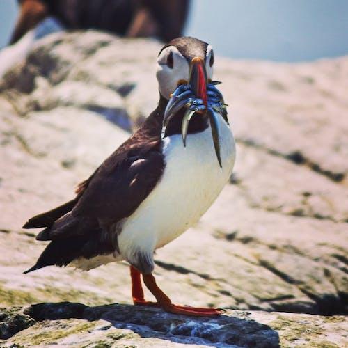 Foto d'estoc gratuïta de #puffin #bird #farneisland