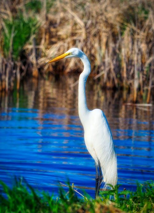 Fotobanka sbezplatnými fotkami na tému biela, leto, voda, volavka biela