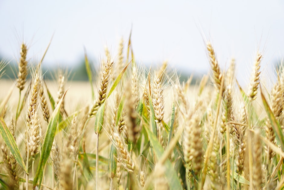 agriculture, arable, barley