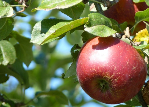 Free stock photo of nature, red, apple, summer
