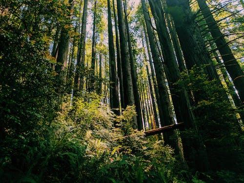 คลังภาพถ่ายฟรี ของ ธรรมชาติ, ป่า, สีเขียว, เรดวู้ด