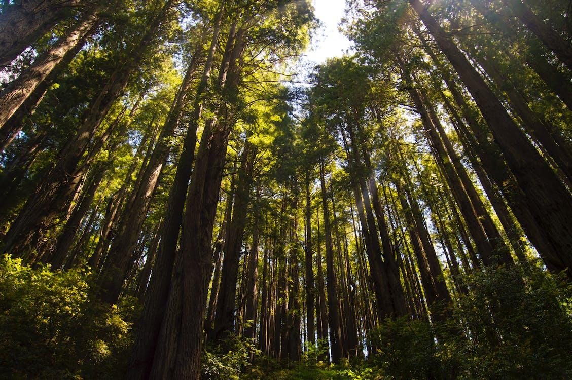 arbres, contre-plongée, forêt