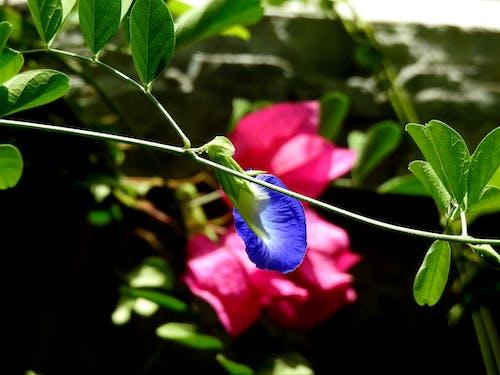 Ingyenes stockfotó bougainvilleas, clitoria, clitoria ternatea, gyönyörű virágok témában
