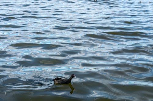 Kostnadsfri bild av fågel, ljusreflektioner, sjö, sothöna
