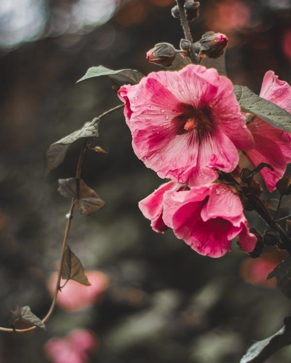 cánh hoa, Dâm bụt, hệ thực vật