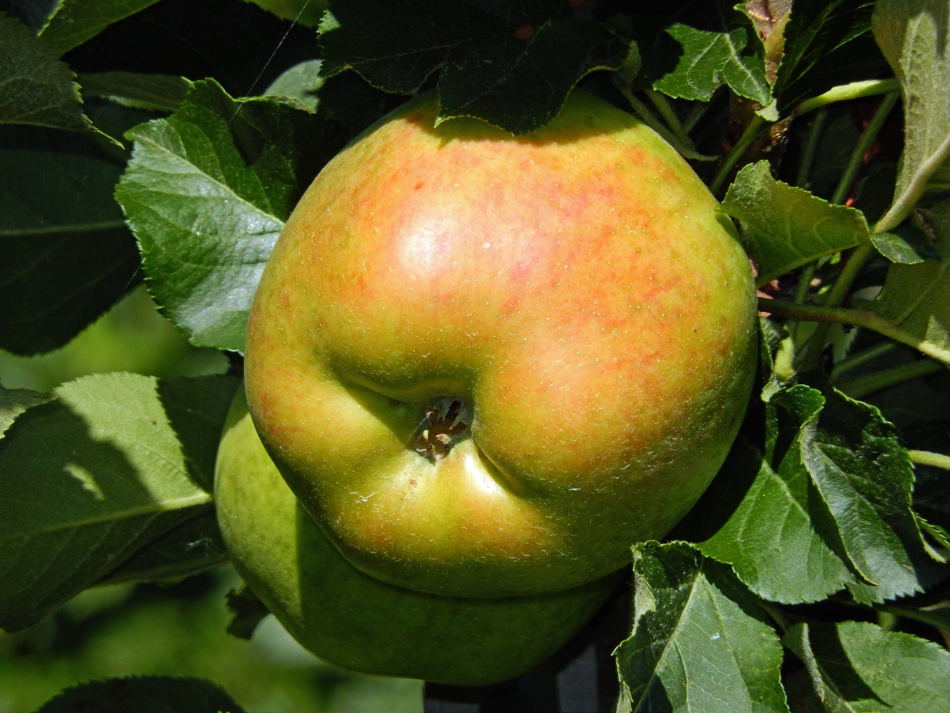 Free stock photo of food, healthy, nature, apple