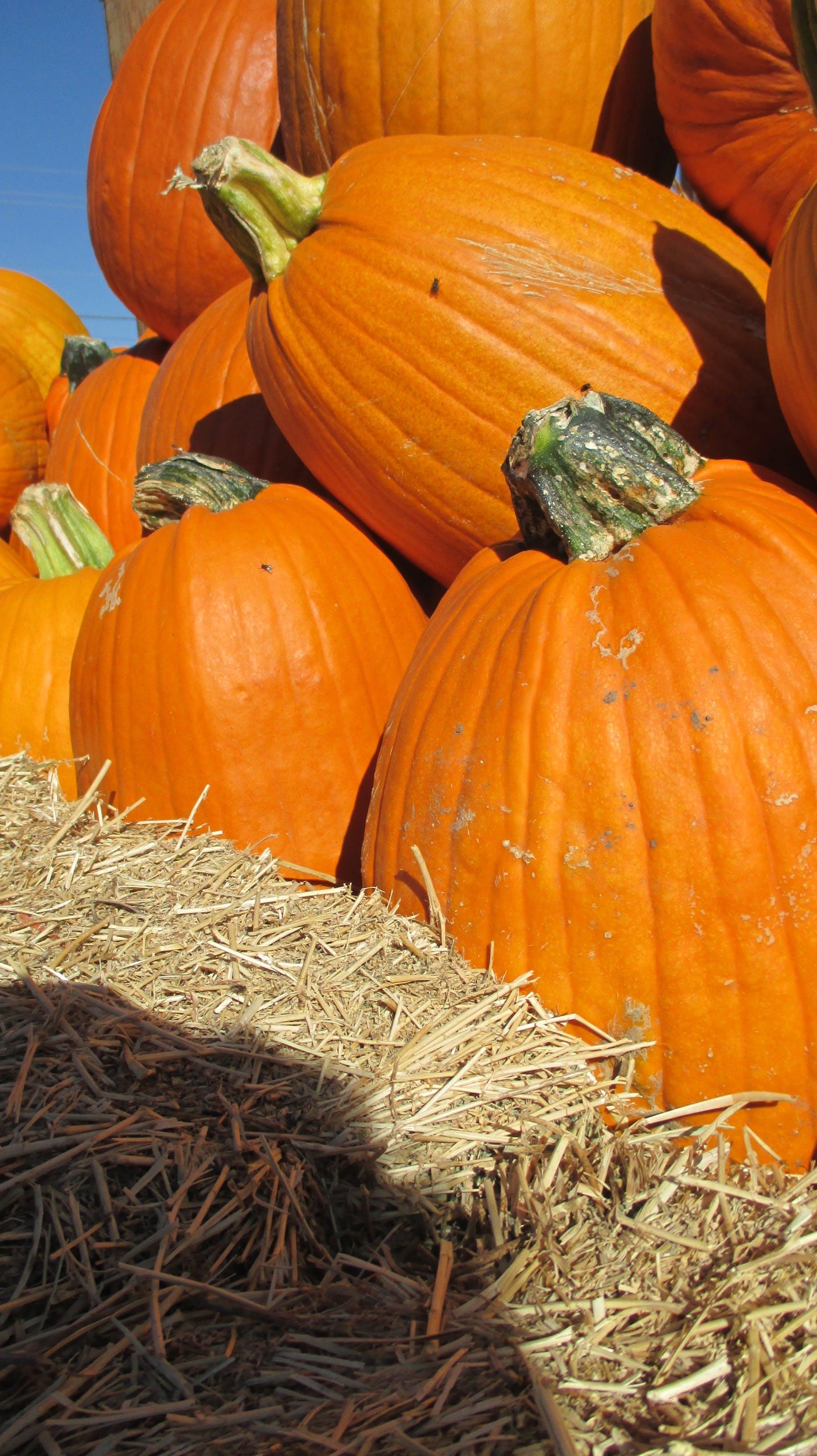 Free stock photo of halloween, harvest, orange, patch