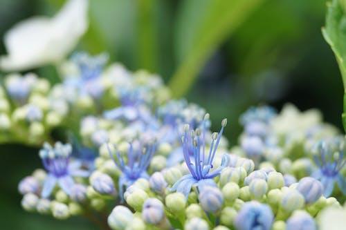 Foto profissional grátis de floração, hortênsia