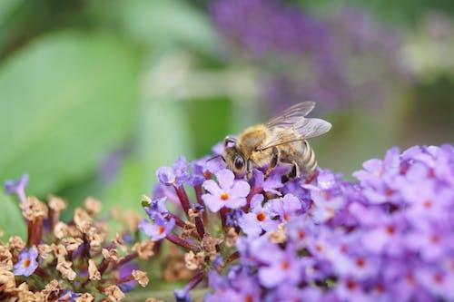 Foto profissional grátis de abelha, floração