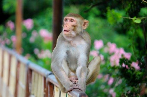Ingyenes stockfotó állat, evés, indiai majom, majom témában