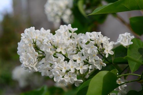 Gratis arkivbilde med blomster, busk, syrin