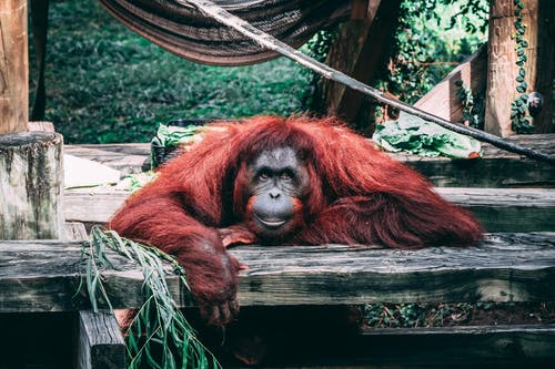 Photos gratuites de animal, animal sauvage, faune, orang-outan