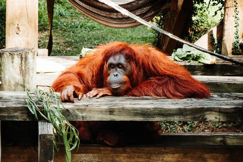 Photos gratuites de orang-outan, Règne animal
