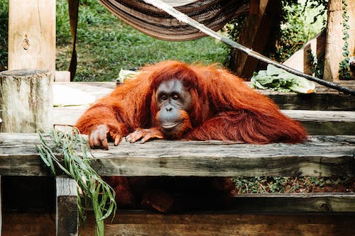 Free stock photo of Animal Kingdom, orangutan