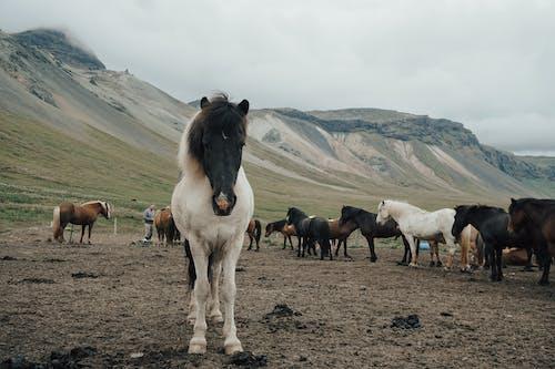 가정의, 가축, 갈기, 갈색의 무료 스톡 사진
