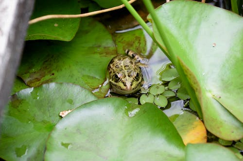 Free stock photo of frog, green frog, head on, leaves