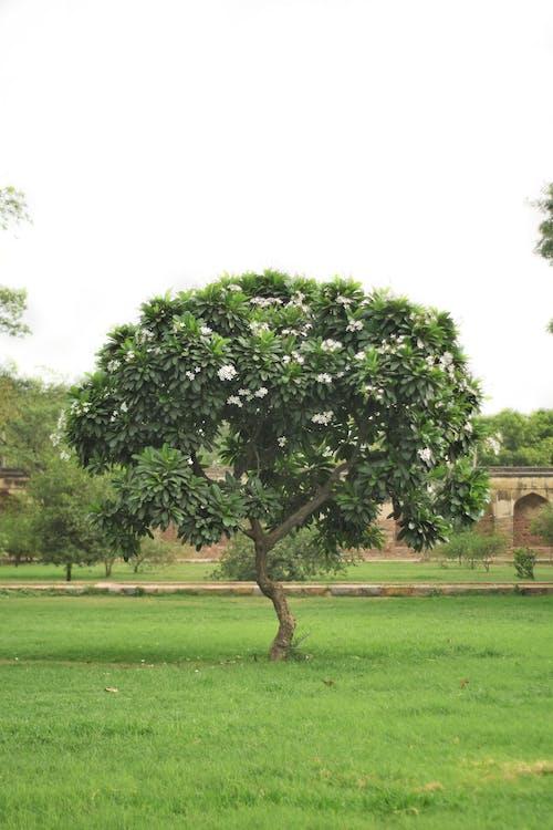 Безкоштовне стокове фото на тему «дерево, зелений, темно-зелені рослини, флора»