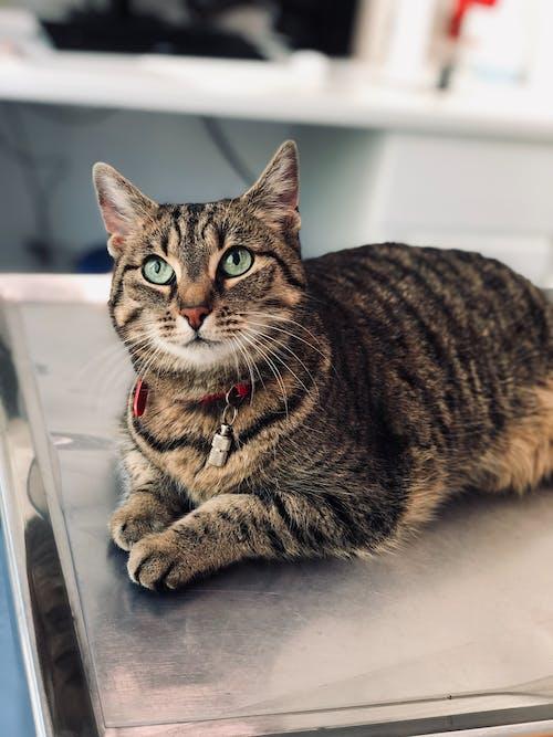 Fotobanka sbezplatnými fotkami na tému cicavec, domáce zviera, mača, mačací