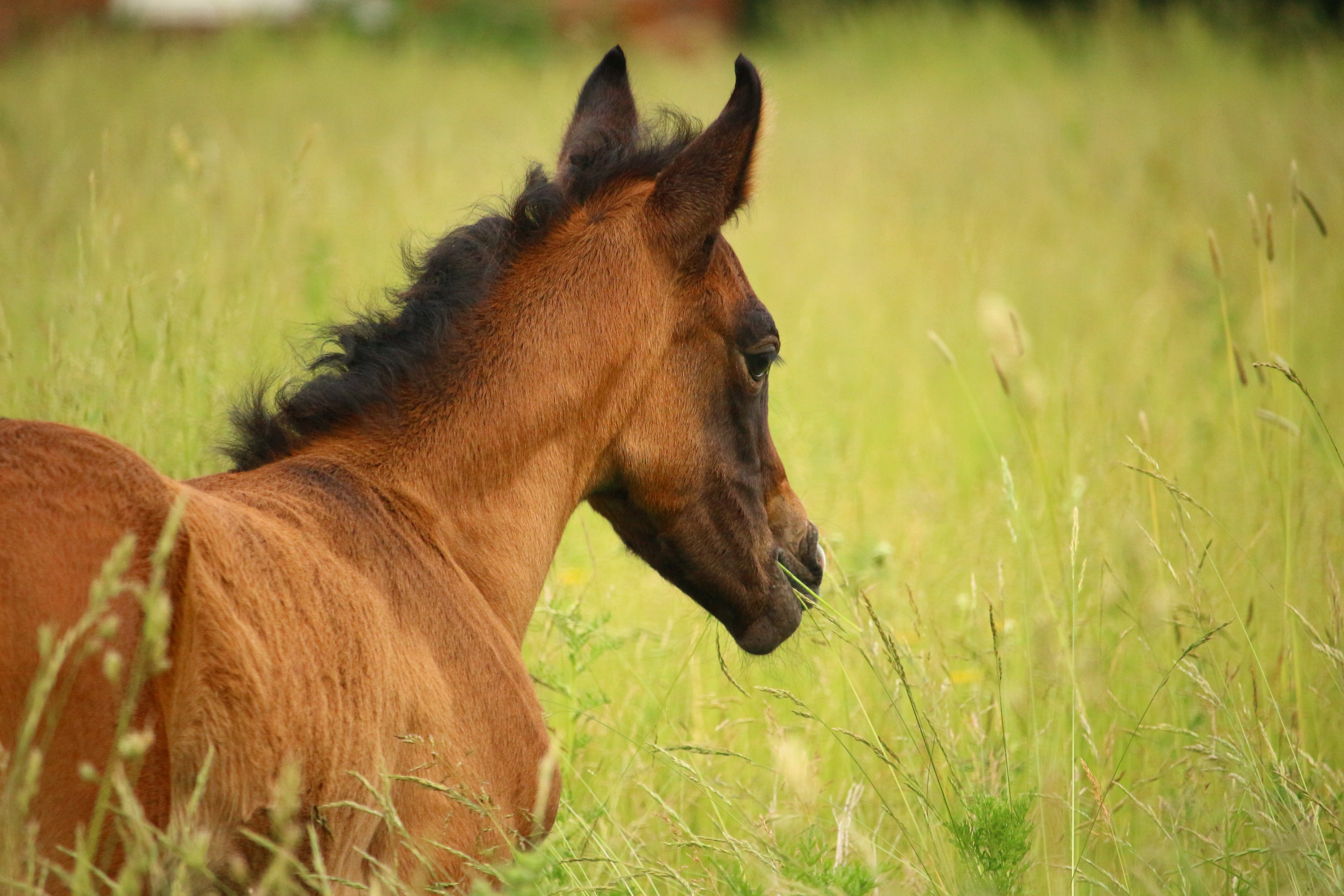 Free stock photo of grass, meadow, horse, pasture