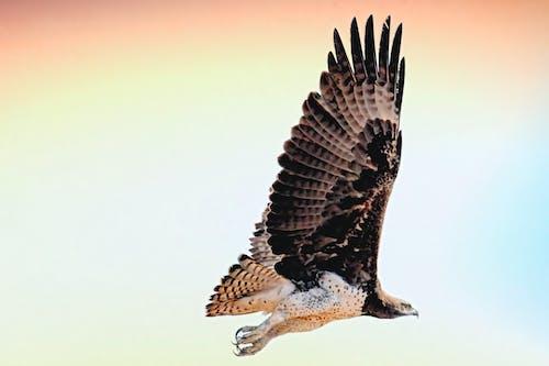 Kostenloses Stock Foto zu falke, fliegen, gleitflug, in der luft