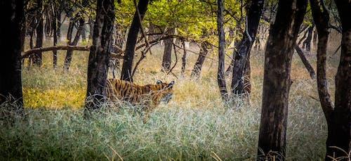 Gratis arkivbilde med dyr, kongen av jungelen, nasjonalpark, safari