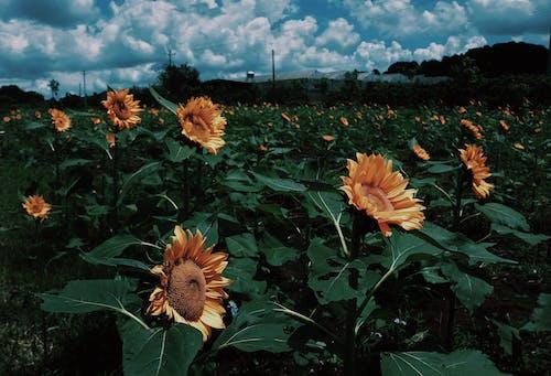 Безкоштовне стокове фото на тему «dalat, В'єтнам, жовтого, квіти»