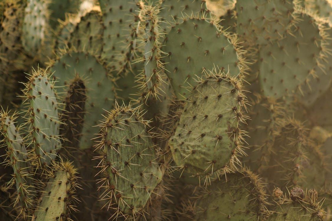 a l'aire lliure, afilat, cactus