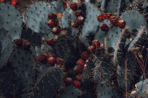 Darmowe zdjęcie z galerii z ciernie, kaktus, kolce, kolczasty