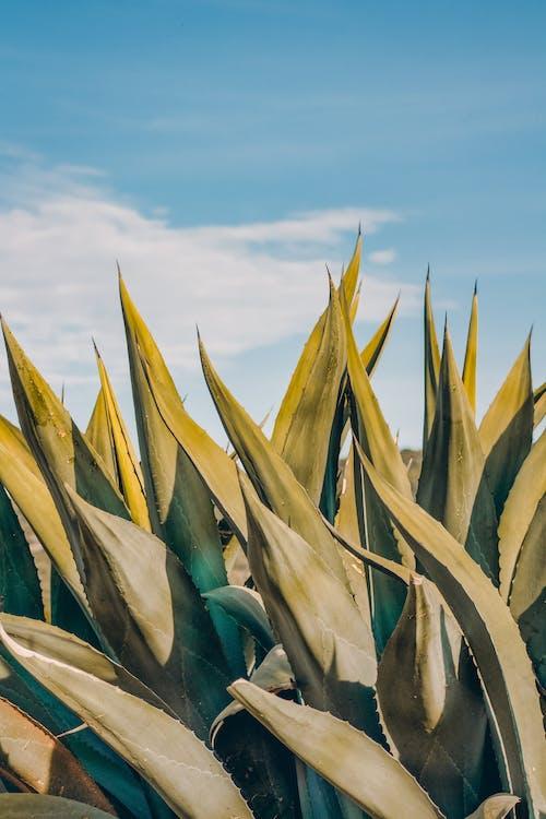 คลังภาพถ่ายฟรี ของ ซักคิวเลนต์, ต้นไม้, ท้องฟ้าสีคราม, ท้องฟ้าสีฟ้า