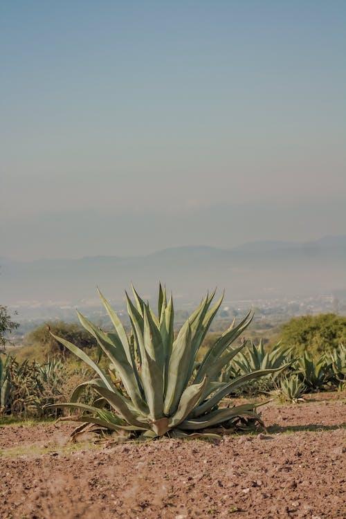 Gratis lagerfoto af Agave, Aloe, flora, grøn