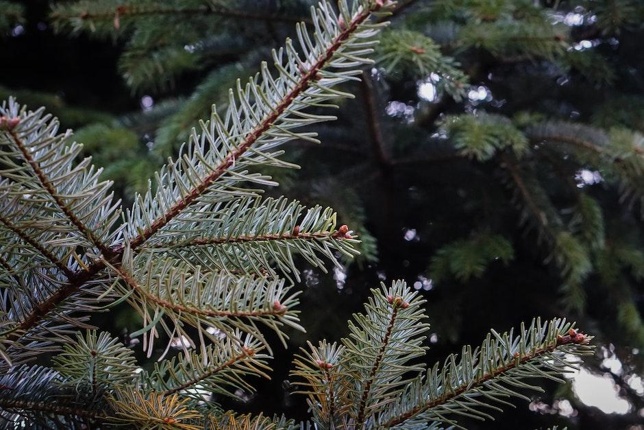 branches, christmas, christmas tree