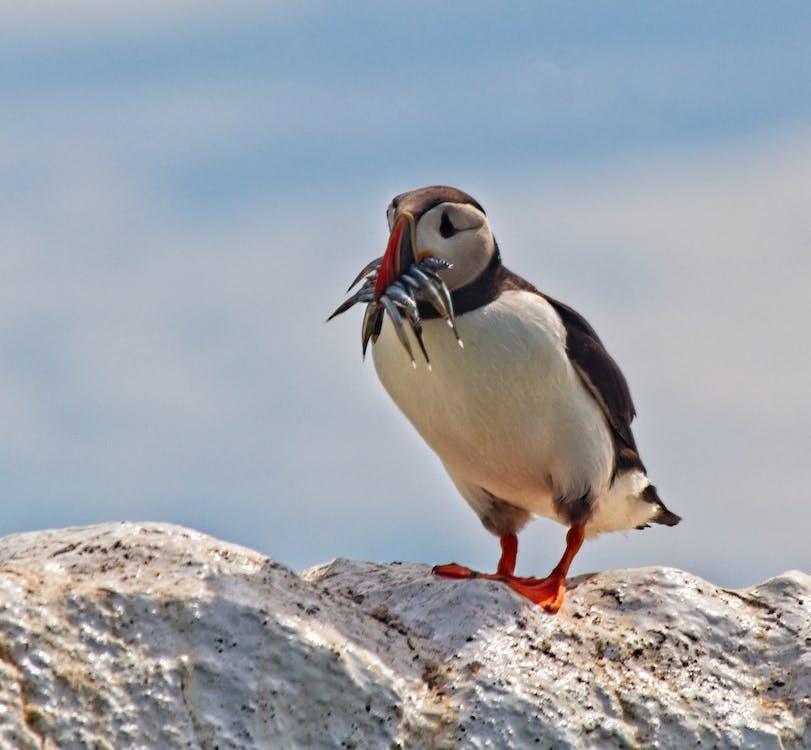 #puffin #bird #wildlife #farneislands