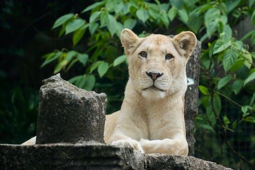 albino, aslan, beyaz aslan, etobur içeren Ücretsiz stok fotoğraf